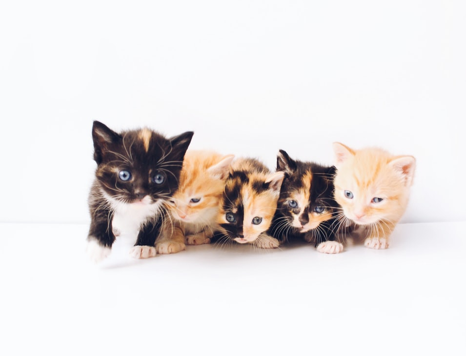 Adopter un chaton : comment s'organiser ?