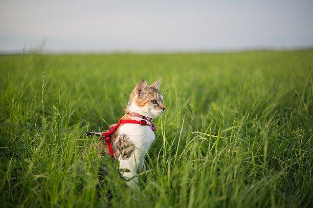 Les avantages de promener son chat
