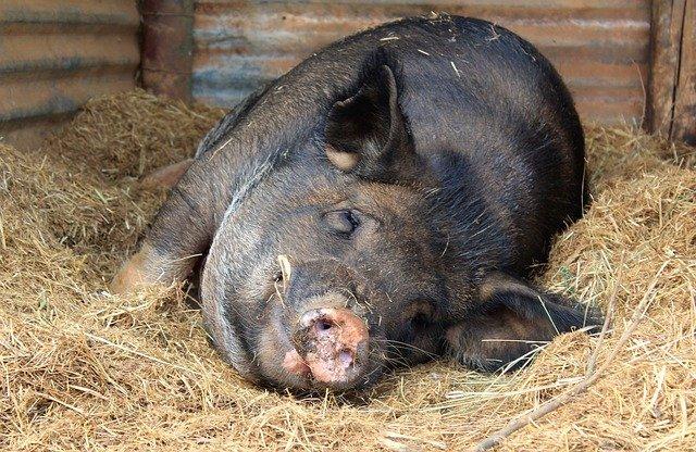 Comment réussir son élevage de porcs?