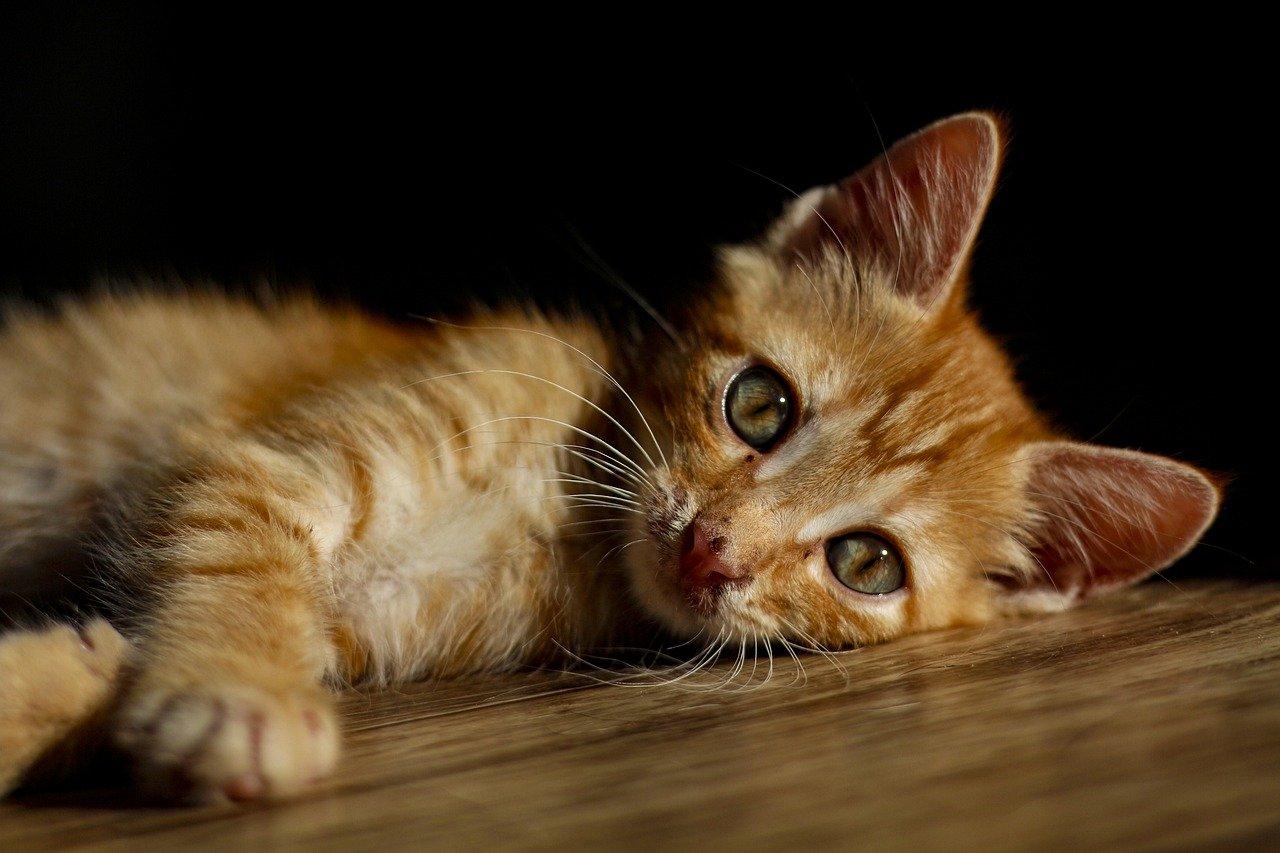 Pourquoi choisir une assurance pour chat ?
